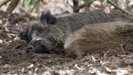 Mittagsschläfchen: Wildschweine im Unterholz