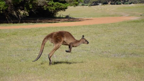 Känguru Karlchen entlaufen