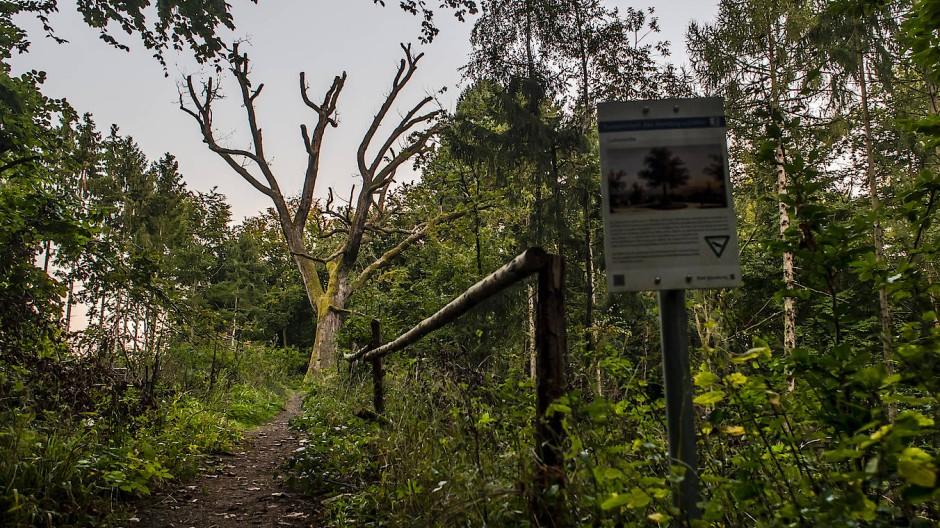 Gerippe aus Totholz: Die Überreste der 200 Jahre alten Luthereiche im Hochtaunus
