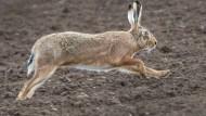 Infektionsherd: In der Wetterau ist die Hasenpest ausgebrochen (Symboldbild)