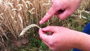 Einkommen der Landwirte sinken