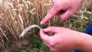 Mager: Eine wegen der langen Trockenheit nicht vollständig ausgebildete Weizenähre, aufgenommen im Juli 2015 in der Wetterau