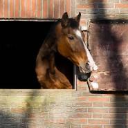 Wann kommt die Chefin? Pferde müssen immer betreut werden, auch in der Krise.