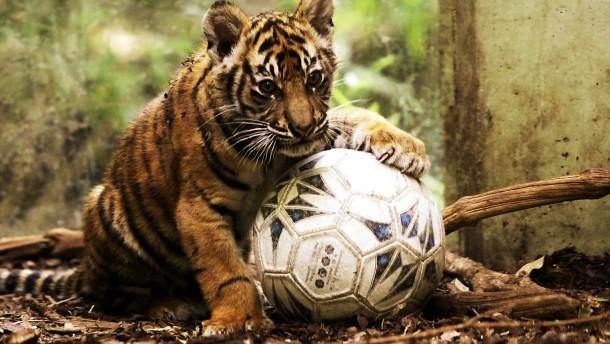 Tigerin trifft Tiger
