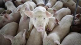 Chinesen warnen vor der Wiederkehr der Schweinegrippe