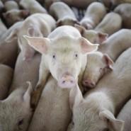 Schweinemastbetriebe geraten immer wieder als Quelle humanpathogener Influenzaviren in den Fokus.