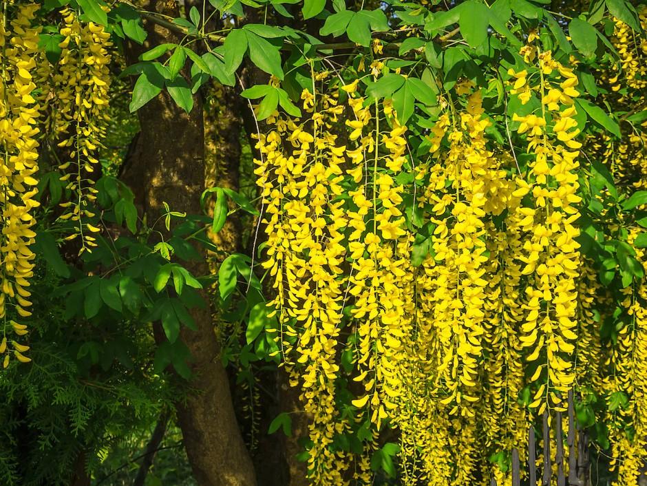 Nach den Forsythien hält der Goldregen Einzug in den Gärten.