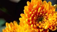 Chrysanthemen bringen Farbe in die dunkle Jahreszeit.