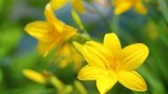 Die Taglilien sind fest im Boden verwurzelt. Neben ihnen sieht besonders Goldbaldrian gut aus.