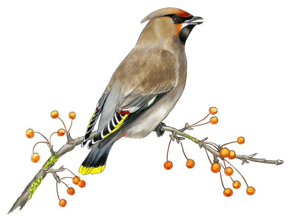 Invasionsvogel: Von der Taigazone aus fressen sich Seidenschwänze jeden Winter Richtung Süden durch und sind dann auch bei uns zu beobachten.