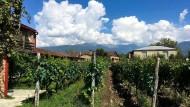 Weinregion: Vorne hängen in Kakheti Saperavi-Trauben, am Horizont liegen die Berge des Kaukasus.