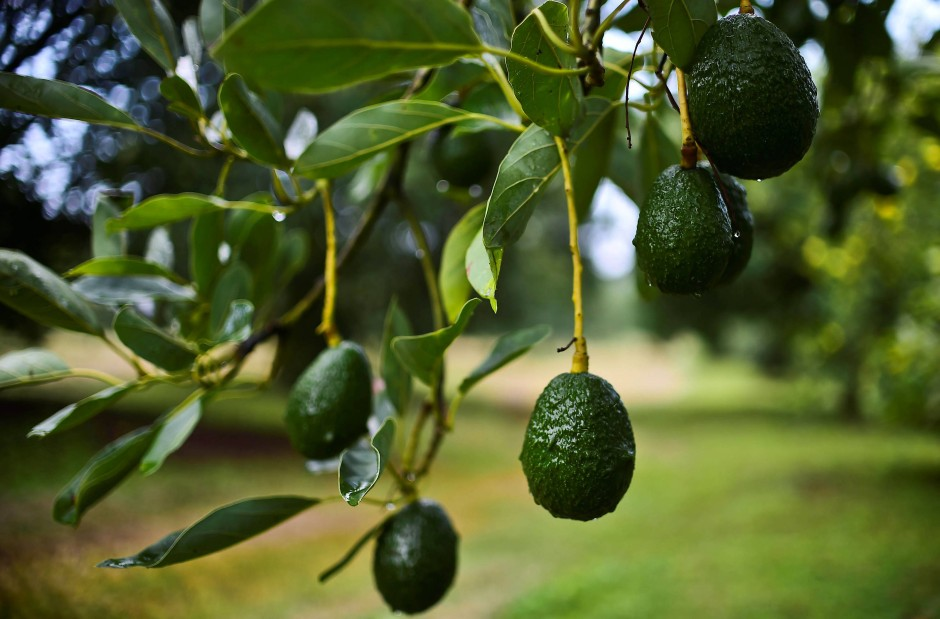 avocado b ume k nnen auch drinnen gezogen werden. Black Bedroom Furniture Sets. Home Design Ideas