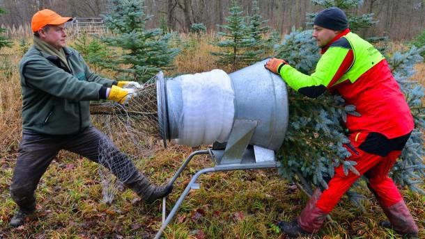 Wann ist ein Weihnachtsbaum frisch?