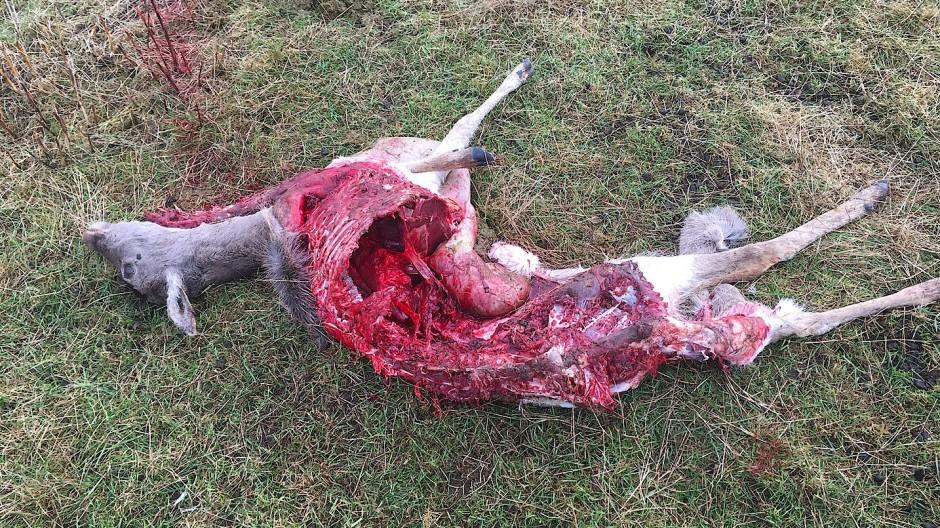 In den weitaus meisten Fällen sind Schafe sowie Ziegen, außerdem Rinder und Wild im Gehege unter den Opfern.
