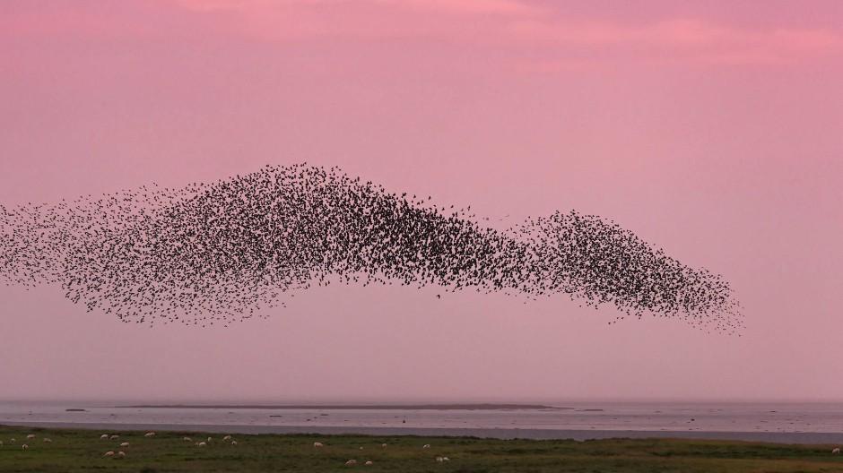 Stare im Schwarm: Icarus will die Gruppendynamik von Tieren verstehen.