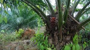 Palmöl für die Welt