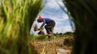 Arbeit auf Reisfeld in Kambodscha: Durch Mikrokredite werden die dortigen Kleinbauern unterstützt.