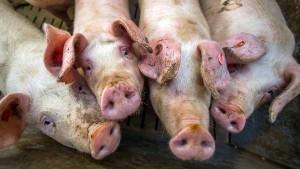 Auf die Schweineschnauze