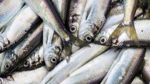 Millionen Menschen können sich 2050 keinen Fisch mehr leisten