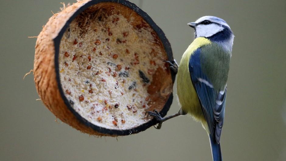 Eine Blaumeise hat eine mit Vogelfutter gefüllte Kokosnuss entdeckt.