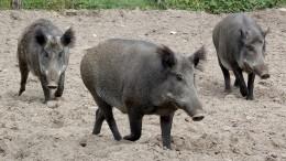 """Bauern warnen vor """"katastrophalen Auswirkungen"""" der Schweinepest"""