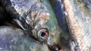 Gezielter Fang von Hering und Dorsch in der Ostsee wird eingeschränkt