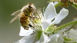 Nicht nur die Biene kämpft ums Überleben