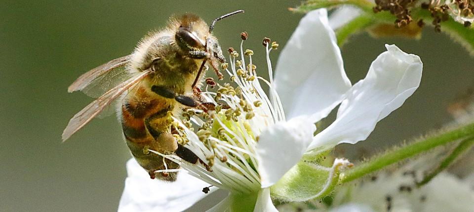 Zu viel Aufmerksamkeit: Während die Köcherfliege 96 Prozent ihres Bestandes verliert, wird trotzdem das Augenmerk auf die Honigbiene gelegt.