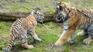 Amur-Tigerkinder Dragan und Alisha zeigen sich der Öffentlichkeit