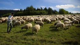 Schafzüchter begrüßen Wolfspolitik der Koalition