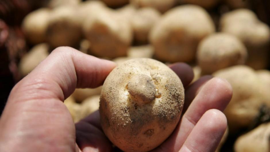 Genkartoffel Amflora: Der Abstand ihrer Felder zu benachbarten Anbauflächen soll festgelegt werden