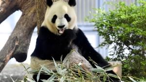 Panda-Baby geboren - Anleger an der Börse jubeln