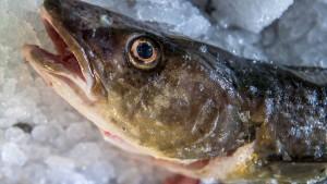 Deutsche Fischer dürfen weniger Hering und mehr Dorsch fangen