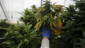 Erste deutsche Cannabis-Ernte wohl 2020