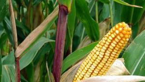 Der Anbau von Mais wird zu stark gefördert