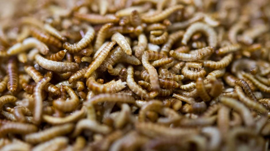 Getrocknete Larven eines Getreideschimmelkäfers