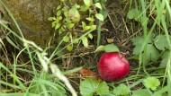 Der Apfel fällt nicht weit vom Stamm, so heißt das Sprichwort. Und laut dieser Studie stimmt's.