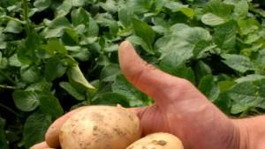 BASF baute nicht zugelassene Genkartoffel an