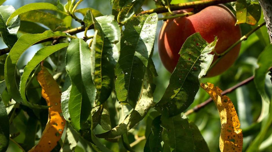 Ein Pfirsich auf der Farm des Landwirts Bill Bader