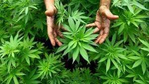 Frankfurter Polizei hebt Marihuana-Plantage aus