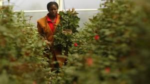 Ostafrikas gefährliche Blüten