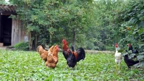 Ein Hoch auf das Huhn