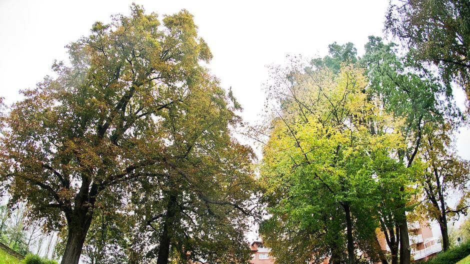Die Stadt Hameln hat ein teures Gutachten über schutzwürdige Bäume anfertigen lassen.
