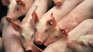 Bisher noch von der Schweinepest verschont: Schweine in einem Stall in Niedersachsen