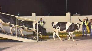 Deutsche Kühe für Qatar