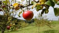 Es ist mit Äpfeln wie mit Mitarbeitern: Um die nötige Reife zu erlangen, braucht es Zeit.