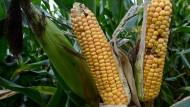 In Amerika weiter optimiert: Crispr-cas verändert den Mais.