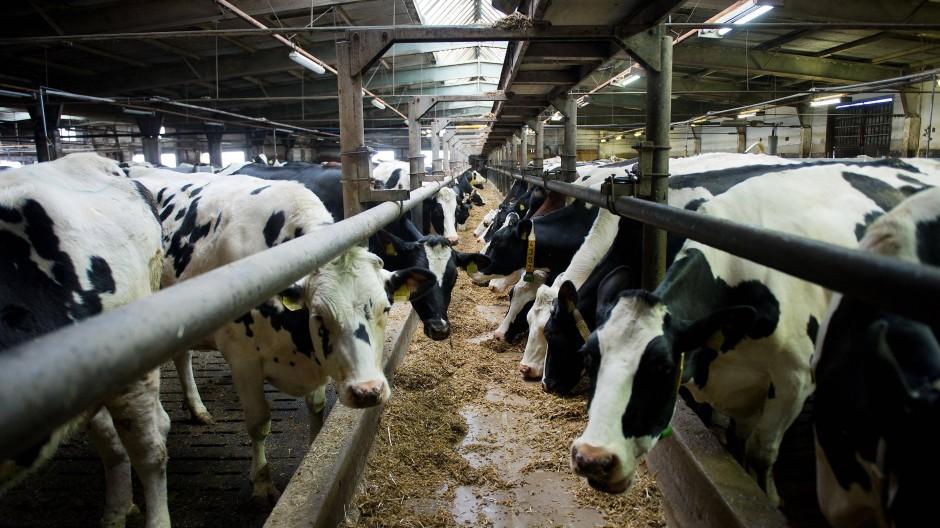 Milchkühe in einem Stall in Sachsen