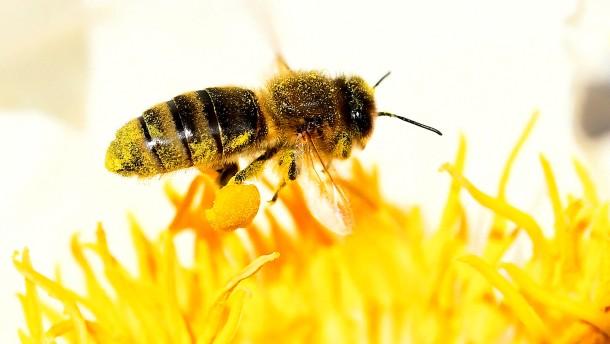 Wie schlimm steht es wirklich um die Bienen?