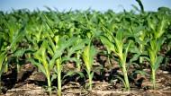 Versuchsfeld mit Maispflanzen in Amerika. Vielleicht steckt Crispr drin.